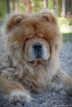Chow Chow clipart furry