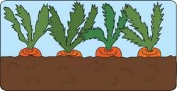 Carrot clipart row