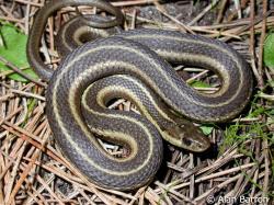 Garter Snake clipart