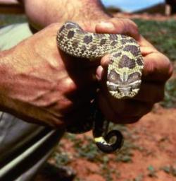 Garter Snake clipart python