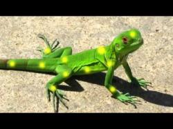 Green Iguana clipart yellow spotted