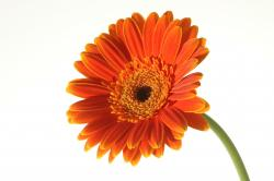 White Flower clipart gerbera daisy