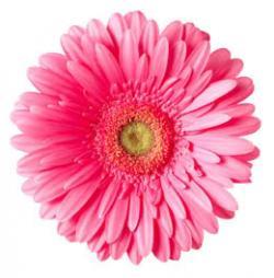 Daisy clipart gerbera daisy