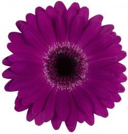Gerbera clipart purple