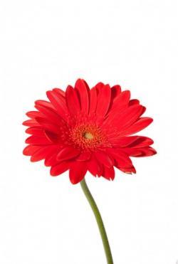 Gerbera clipart red flower