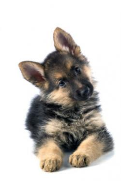 Germany clipart german shepherd puppy