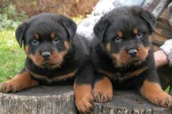 Germany clipart rottweiler