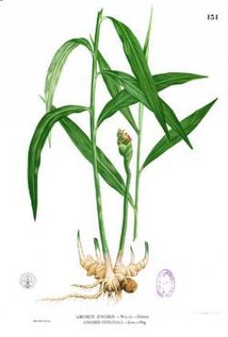 Ginger clipart ginger plant