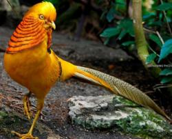 Golden Pheasant clipart mutant