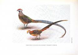 Golden Pheasant clipart