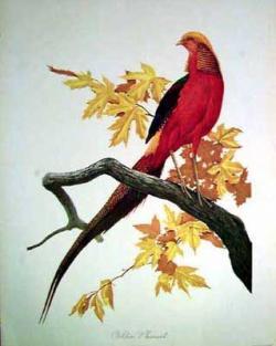 Golden Pheasant clipart rare