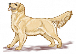 Golden Retriever clipart