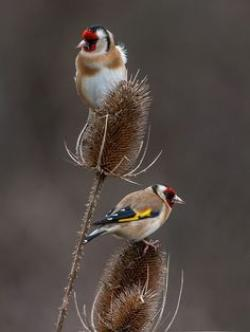 Goldfinch clipart