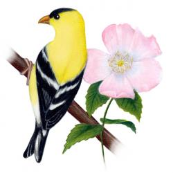 Goldfinch clipart nj state