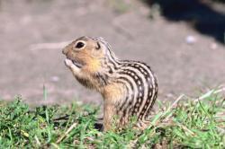 Gopher clipart ground squirrel