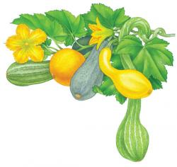 Gourd clipart yellow squash
