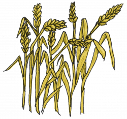 Grains clipart wheat crop