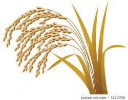 Rice clipart rice crop