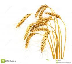 Barley clipart wheat stalk
