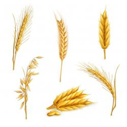 Single clipart wheat grain