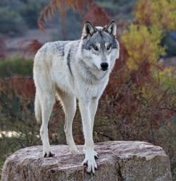 Gray Wolf clipart tundra animal