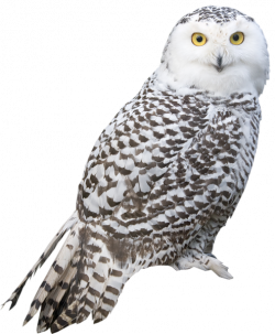 Great Grey Owl clipart snowy owl