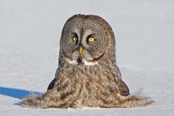 Barred Owl clipart smart