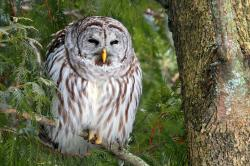 Barred Owl clipart night owl