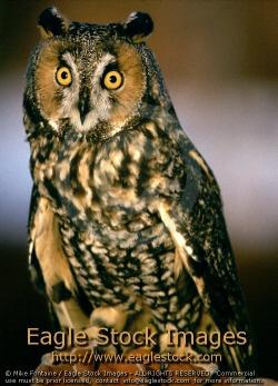 Barred Owl clipart hoot owl