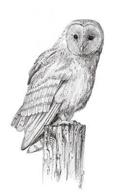 Drawn owl barn owl