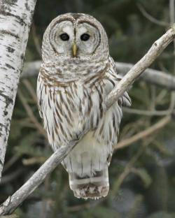 Barred Owl clipart winter