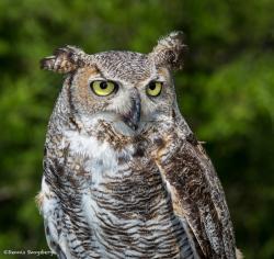 Great Grey Owl clipart prairie
