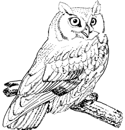 Drawn owl great horned owl