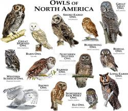 Barred Owl clipart spotted barn