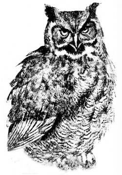 Barred Owl clipart sketch