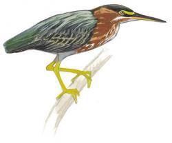 Green Heron clipart