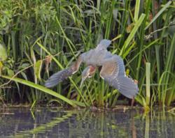 Green Heron clipart marsh grass