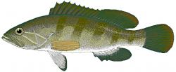 Grouper clipart bass fishing
