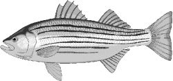 Trout clipart striped bass