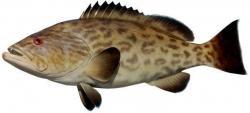 Grouper clipart gag grouper