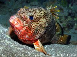 Grouper clipart red hind