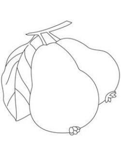Guava clipart sketch
