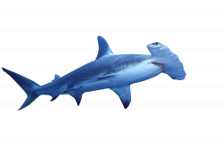 Hammerhead clipart sea animal