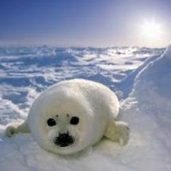 Harp Seal clipart tundra animal