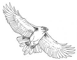 Cooper's Hawk clipart clipart black and white