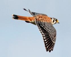 Kestrel clipart hawk