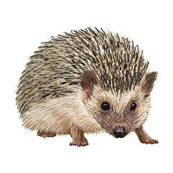 Echidna clipart baby hedgehog