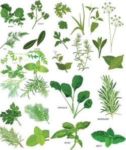 Drawn herbs herbal