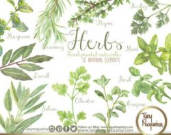 Parsley clipart herb