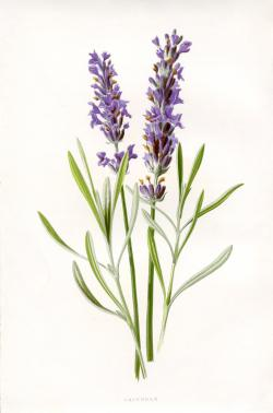 Drawn lavender lavender herb